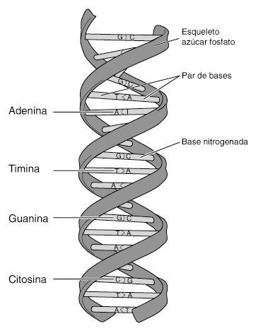 Conclusiones sobre ADN