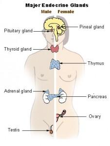 Las glándulas