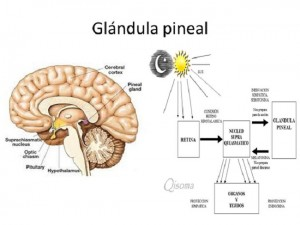 Cómo desintoxicar la glándula pineal Activarla y La importancia de tomar sol Pdf para bajar