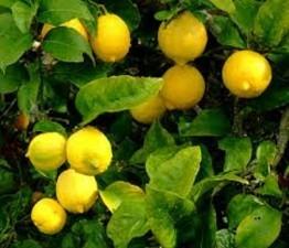 El limón es la fruta más utilizada en salud