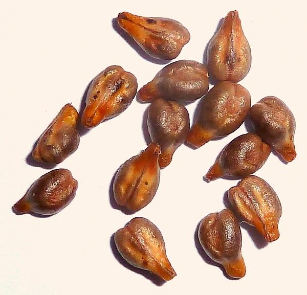 Semillas de uva completo