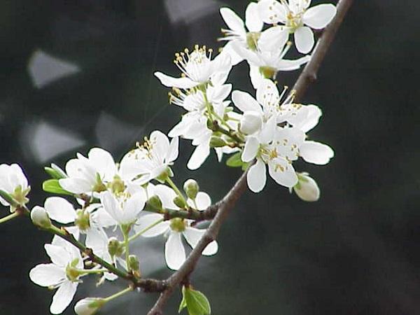 cherry-plum-psoriasis.jpg