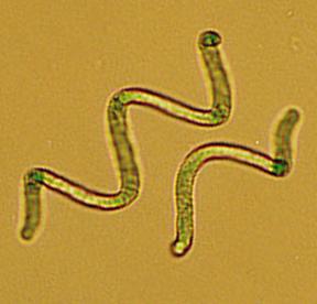 Espirulina oro verde
