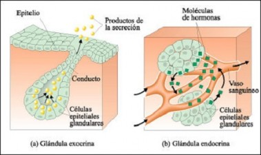 Las glándulas básicas en la sanación
