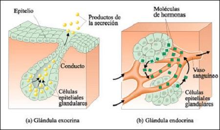 Las glándulas básicas en la sanación - Autosanación y Espiritualidad