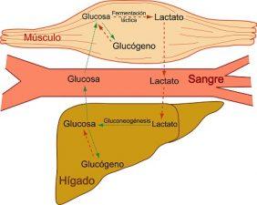 Hígado Graso Recetas Definición Síntomas Tratamiento y Consejos Naturales