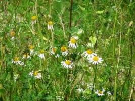 Plantas medicinales cultivables