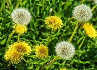Plantas medicinales cultivables en casa Más de 25 para tu botiquín natural y como alimentos