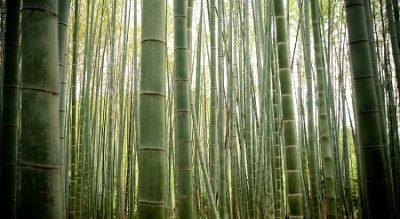 Bambú multiuso La planta Medicinal Textil Industrial Energía Alimenticia