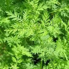 Cáncer y Artemisia annua