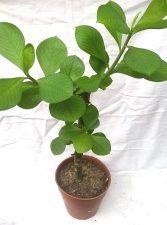 Planta de la vida Synadenium Grantii Hook ¿La planta que cura todo? La Potencial farmacia Amazónica