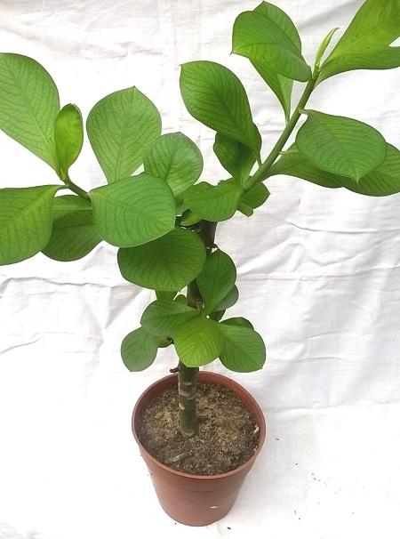 Planta de la vida Synadenium Grantii Hook