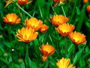 Caléndula Usos en odontología y más Una planta de flores hermosas y usada para salud y alimentos
